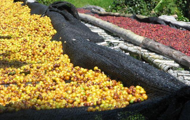Odrůda: Catuaí