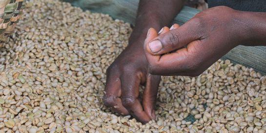 Káva - velký byznys s malými farmáři