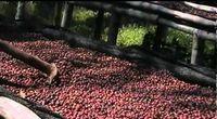 Krátká ukázka sušení kávových třešní na farmě Emporium
